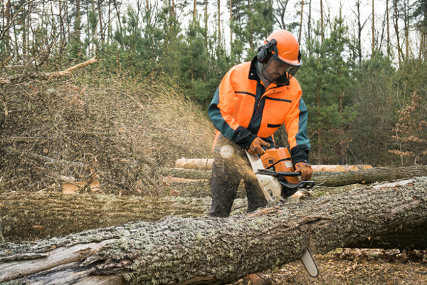 Forestry worker with chainsaw is sawing a log. Sample of works on forest logging
