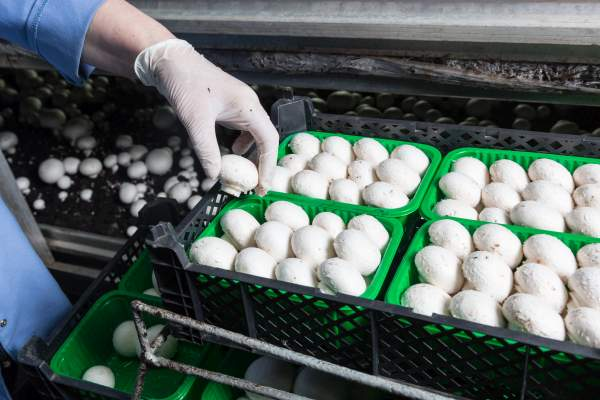 Hand in a rubber glove  picking up fresh harvest of champignons into containers on a mushroom growing plant. Food production