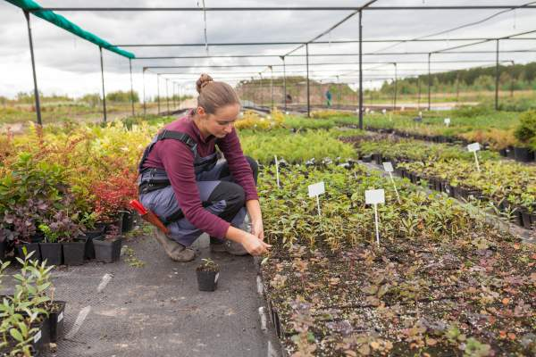 woman gardener transplants and rearranges potted plants, garden center