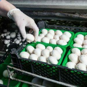 Une production alimentaire. Des champignons dans des emballages verts ouverts.
