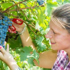 Une femme vituculteur coupe les vignes.