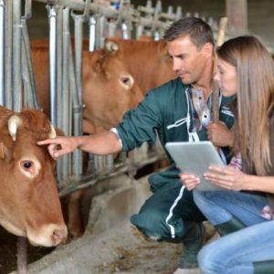 Deux ouvriers en polyculture s'occupent d'une vache.