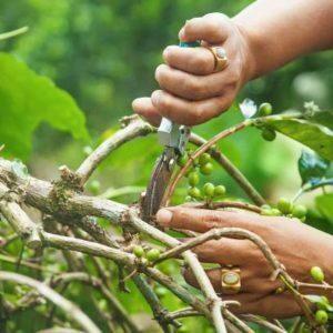 Une main d'un ouvrier arboricole coupe les vignes.
