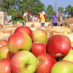 Un panier plein de pommes après la cueillette, les travailleurs trient les pommes dans la ferme.