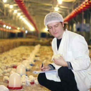 Téchnicien d'élévage avicoletravaillant sur une ferme de poulet