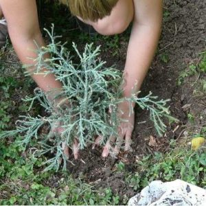 Un jardinier s'occupe des petits arbres.