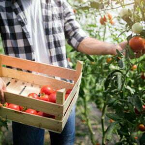 Un homme garde un panier avec des tomates.