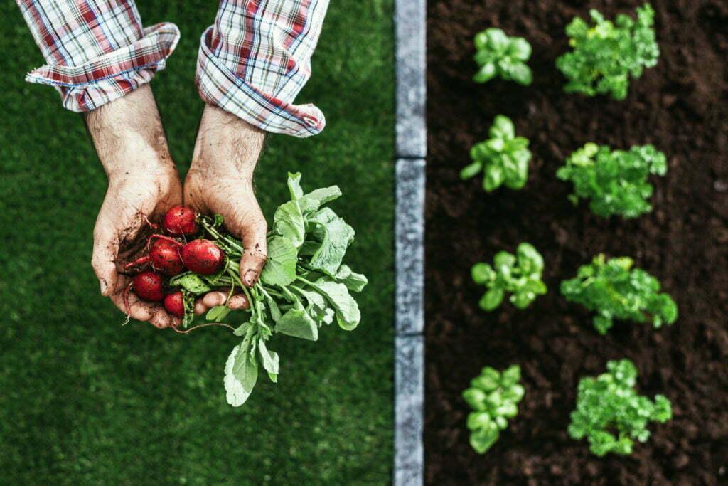 Les mains d'un travailleur saisonnier avec le radis récolté.