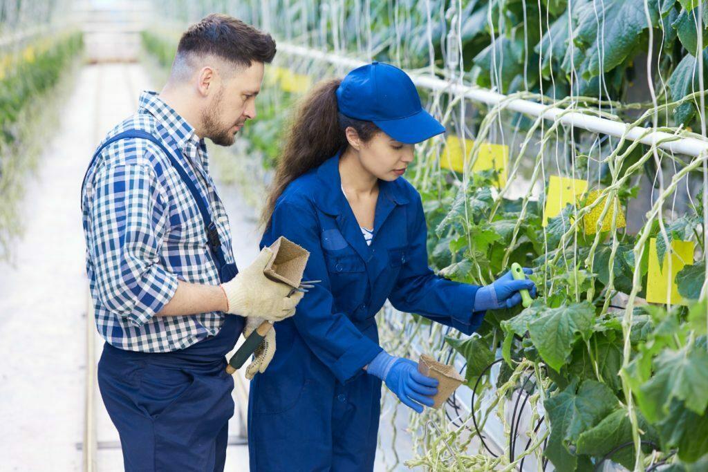 Deux travailleurs des plantations modernes s'occupant des légumes en serre